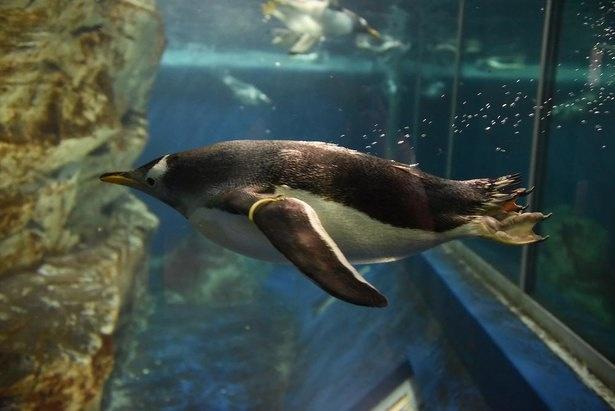 水中では高い瞬発力を放つジェンツーペンギン
