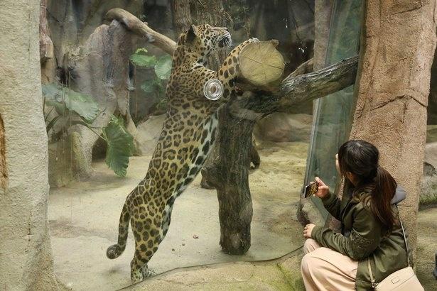 猛獣ジャガーもガラス越しで間近に観察