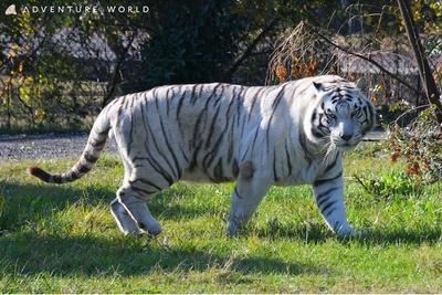 ホワイトタイガーはインド周辺に生息しているベンガルトラの白変種