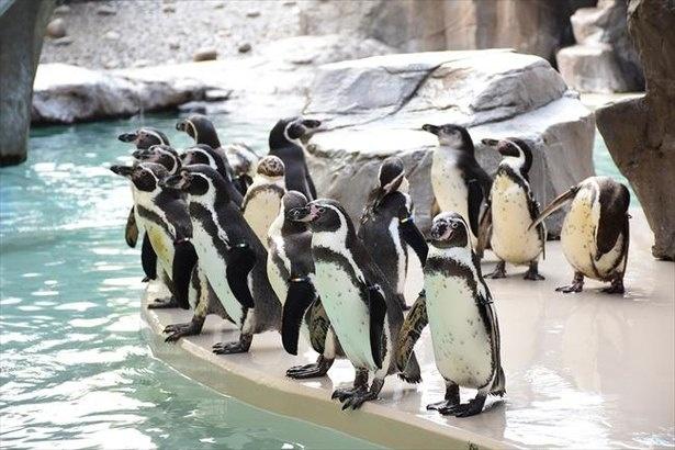 フンボルトペンギン70羽が飼育・展示されるペンギン海岸