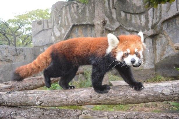 入口からほど近いエリアにいるレッサーパンダ。愛くるしい見た目で来園者の視線をくぎ付けに!