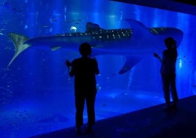 大きな体のジンベエザメが目の前を優雅に泳いでいく。周りの小さい魚たちにも注目を