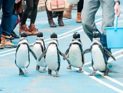 よちよちと歩くペンギンたちのかわいらしい姿に胸キュン!