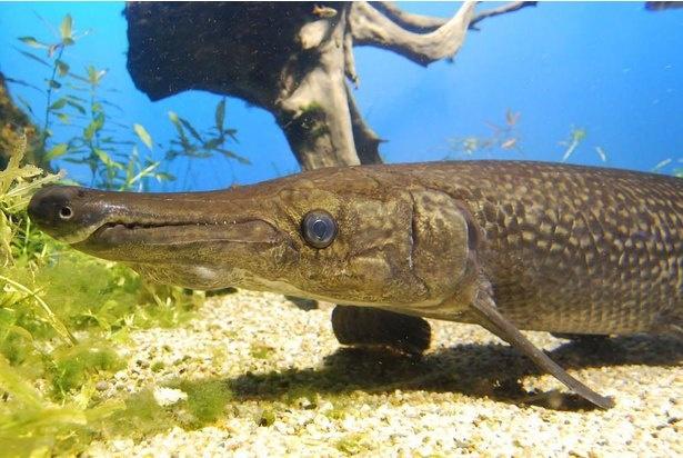 【写真】最大級の古代魚「アリゲーターガー」は体長約3メートル