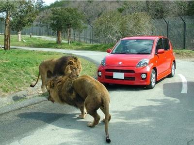 目の前には迫力満点のライオンが!自分たちのペースで回れるのがマイカーのメリット。絶対に車から降りないように
