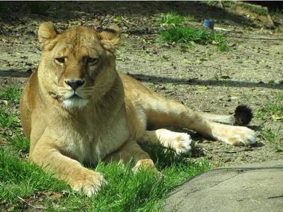 【写真】ライオンは普段寝ていることが多いそう