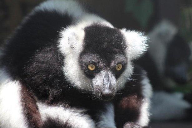 パンダのような白黒の毛が印象的なシロクロエリマキキツネザル