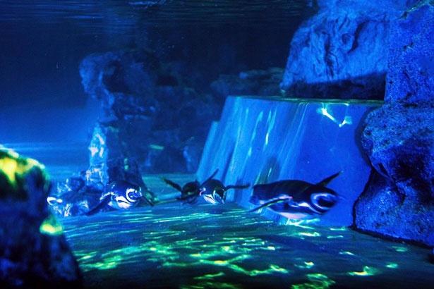 幻想的な光の中を泳ぐペンギンたちの、貴重な姿を見ることができる