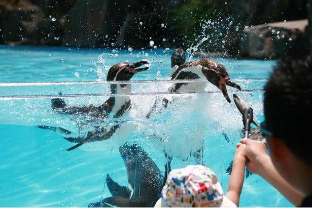「ペンギンの滝」でもおやつがあげられる。トングに魚を挟んでプレゼントして!(1回500円、各時間10組限定)