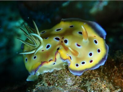黄色に紫のようなドットが印象的なオトヒメウミウシ