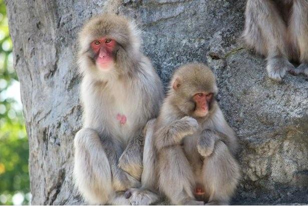 【写真】「動物ゾーン」のサル山には、キュートなお猿さんがいっぱい!
