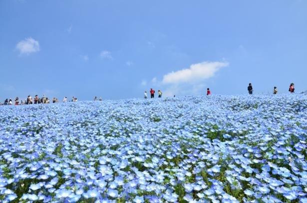 ネモフィラの花と青い空、見渡す限りブルーの世界に感動!