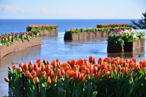 冬に咲く色とりどりのアイスチューリップ