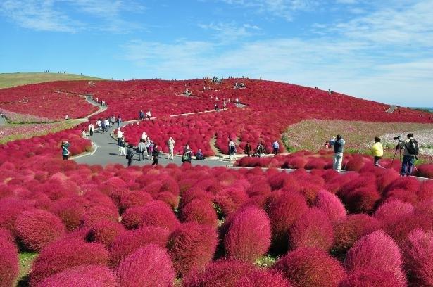【写真】秋は丘一面に真っ赤なコキアの絨毯が広がる