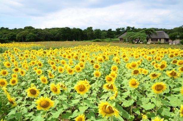 8月中旬頃は「みはらしの里」や「泉の広場」にヒマワリが咲き競う
