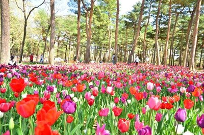 八重咲きやフリンジ咲きのチューリップも観賞できる