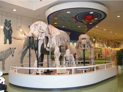 動物科学館に入ると大きなゾウの骨格標本がお迎え