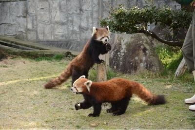 根強い人気のレッサーパンダのキラくんやマルちゃん