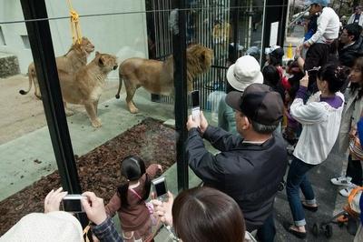 ライオンの「レオガラス」。柵ではなくガラス越しで見られるからライオンに近づける!