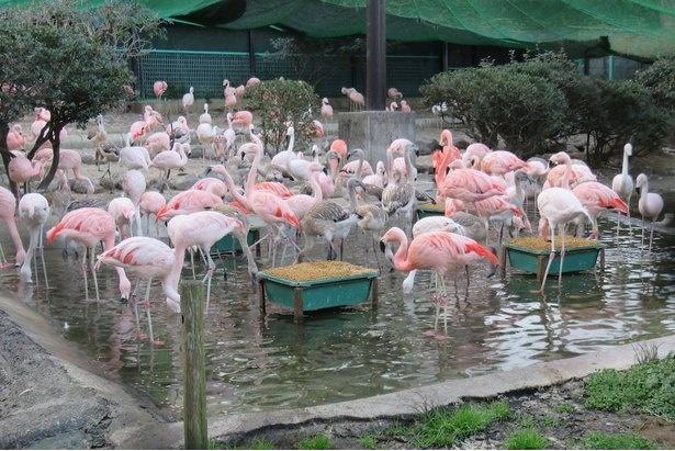 2019年に30羽以上が生まれたフラミンゴの展示場