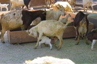 2020年に生まれたヤギの赤ちゃんとママ。たくさんミルクを飲んで成長中!