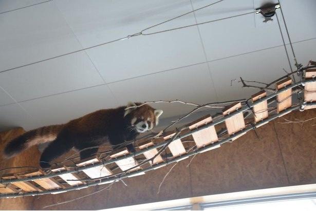 アジアゾーン高山館の屋内展示場では、来園者の頭上に設けられた渡り木の上をレッサーパンダが歩く!