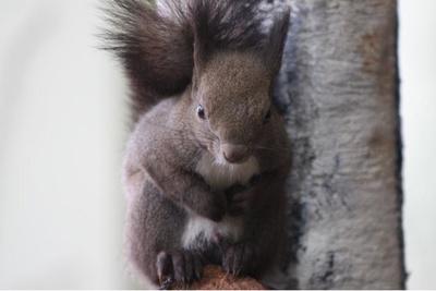 北海道の動物であるエゾリス。体毛が夏は茶色、冬は灰褐色になり、冬だけふさふさの耳毛が生える