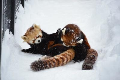 暑さが苦手で、寒い冬のほうが活発になるレッサーパンダ。雪の中で大はしゃぎ