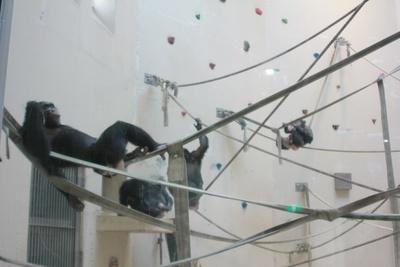 ボルダリングで遊ぶチンパンジーも見ていて楽しい