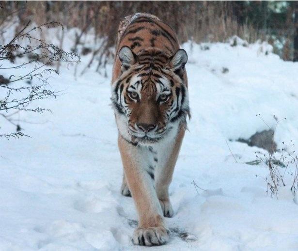 トラの中で最大級の大きさを誇るアムールトラは本来、ロシア沿岸部の寒い地域に生息する動物。北海道の冬の寒さもなんのその