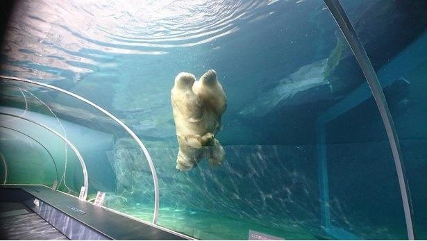ホッキョクグマ館の水中トンネル。ホッキョクグマとアザラシが、まるで一緒に泳いでいるように見える工夫が!