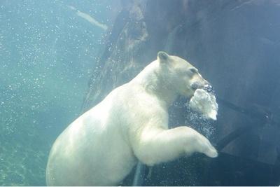 水中にいるホッキョクグマ