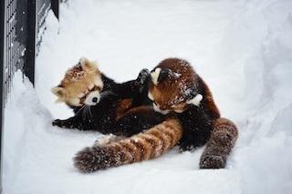 札幌市円山動物園はオールシーズンでおすすめ!グルメやお土産情報も紹介