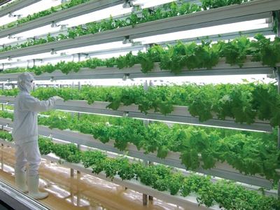 蛍光灯を光源とした植物工場において、レタス・サラダ菜等を栽培して いる(株)フェアリーエンジェルの京都府北山にある工場