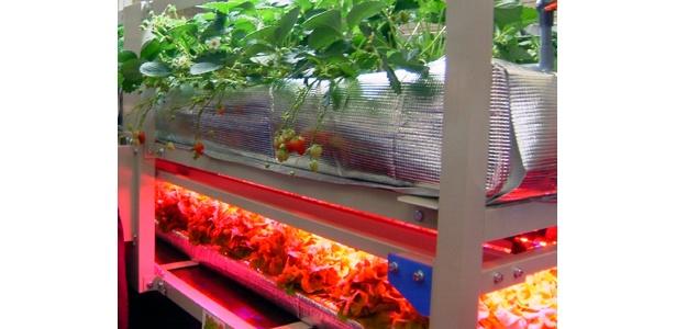 イチゴとレタスが収穫可能!経済産業省別館の「植物工場」モデル施設