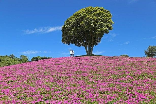 房総の山並みとともに美しい花のじゅうたんが見られる(桃色吐息)