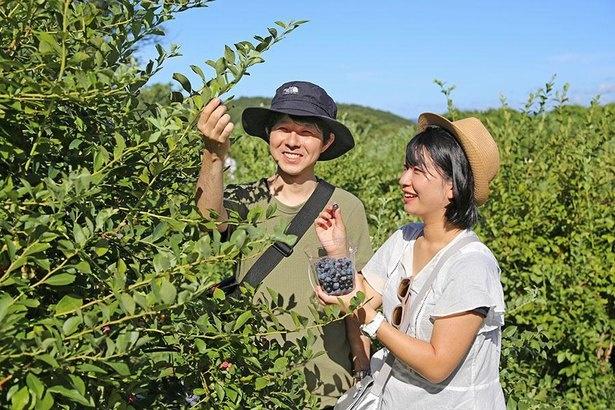3品種が楽しめる「ブルーベリー摘み」