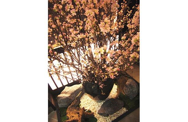 箱庭の桜は1/28現在で5分咲きほどで、美しい花びらを間近で観察できる