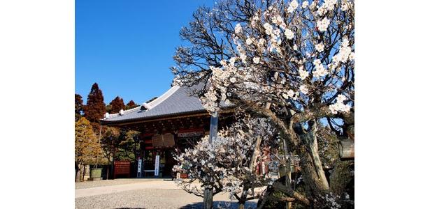 成田山公園では平均樹齢50年以上の老木が多く趣がある