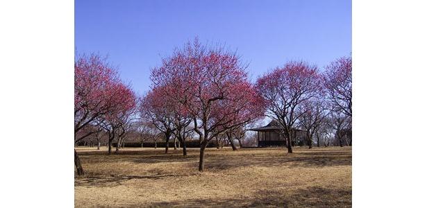 昭和の森では約6種類の梅が見られる