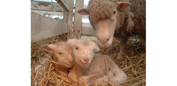 1/27生まれたばかりの羊の双子の赤ちゃん