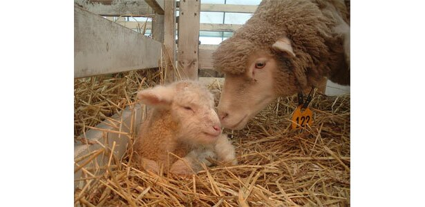 母羊とも仲良し