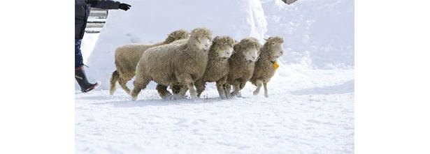 羊追いタイムトライアル、羊を時間内に柵に追い込んで賞品ゲット!