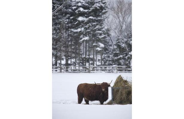 イベントには登場しないが、放牧されているので見ることができる。牛(スコッチ・ハイランド・キャトル)