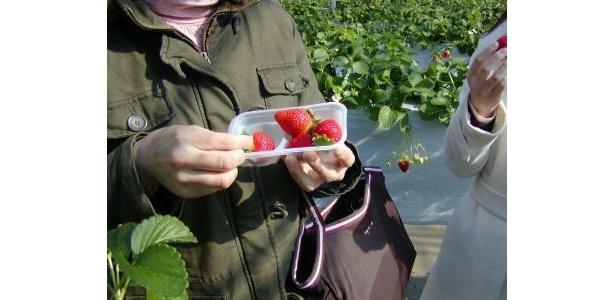 摘みたてイチゴに練乳をつけてパクリ  ※写真は昼間