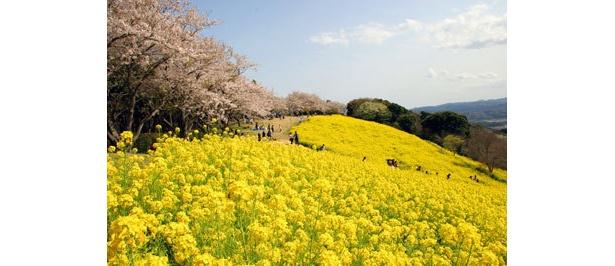 3月中旬からは桜と菜の花の競演も楽しめる