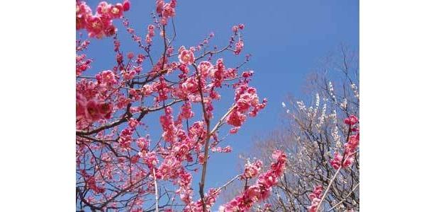 小金井公園の紅梅。梅まつりの時期には白梅、紅梅約100本が咲き競う