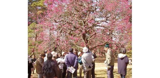美しい梅林の中で、江戸太神楽が見られる(小金井公園)