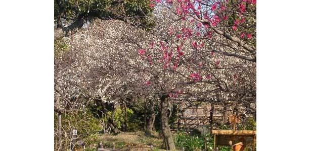 向島百花園では梅と一緒に投扇興が楽しめる