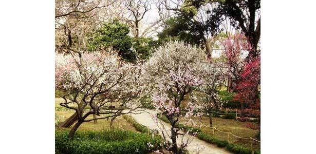 小石川後楽園の梅まつりは、江戸糸あやつり人形、江戸太神楽が見られる